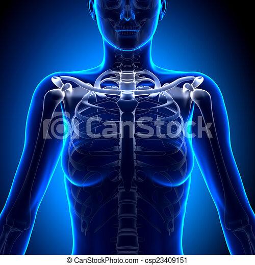 Female clavicle bone anatomy - anatomy bones.
