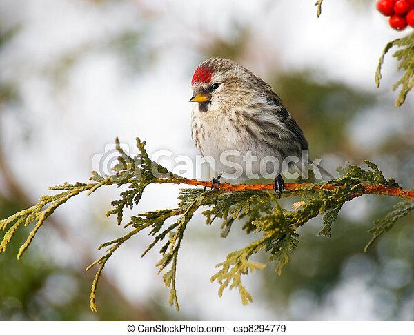 Female common redpoll in winter. - csp8294779