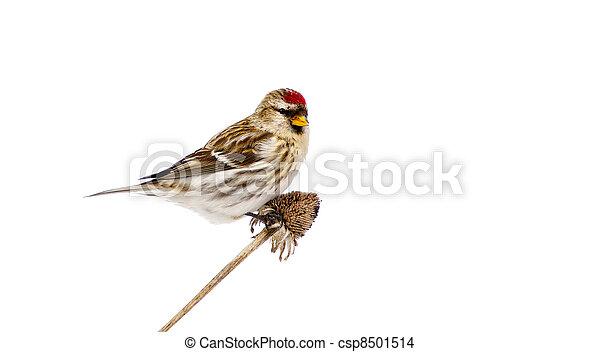 Female common redpoll, isolated. - csp8501514