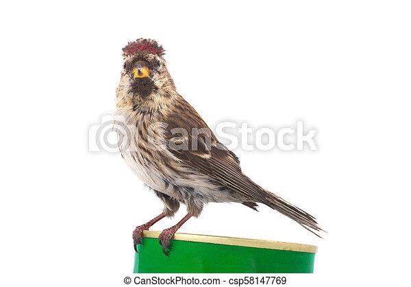 Female Common Redpoll - csp58147769