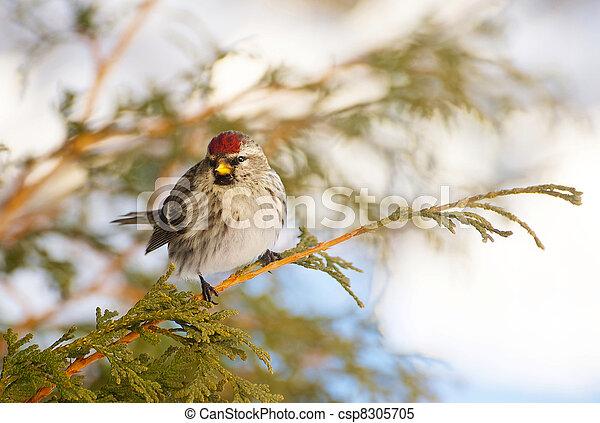 Female common redpoll. - csp8305705