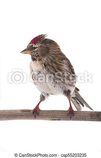 Female Common Redpoll - csp55203235