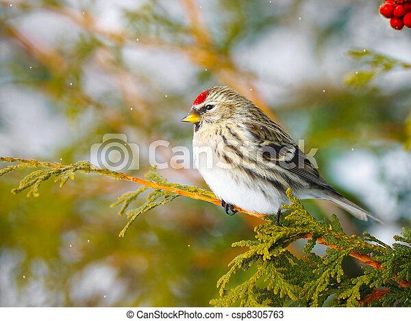 Female common redpoll. - csp8305763