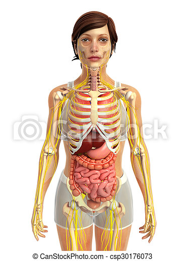 3d rendered illustration of female digestive system picture - Search ...