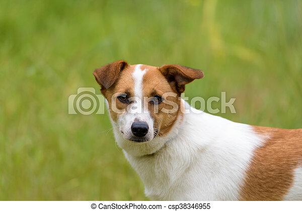 Female dog in a green field - csp38346955