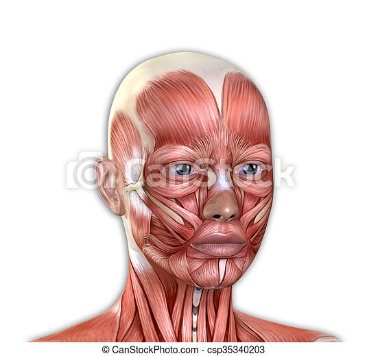 Female face muscles anatomy isolated on white background.