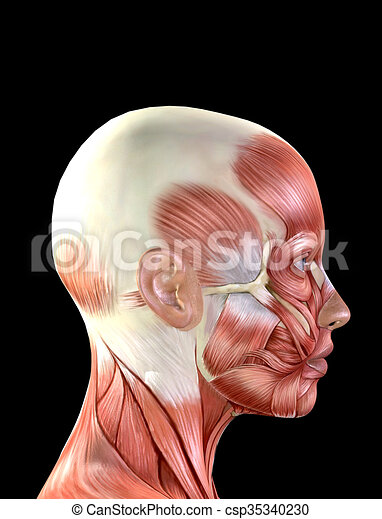 Female face muscles anatomy isolated on black background.