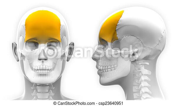 Female Frontal Bone Skull Anatomy - isolated on white - csp23640951