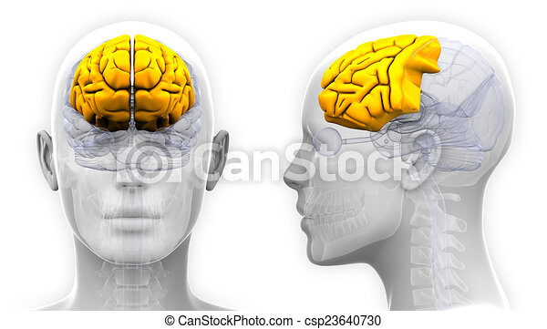 frontal anatomy