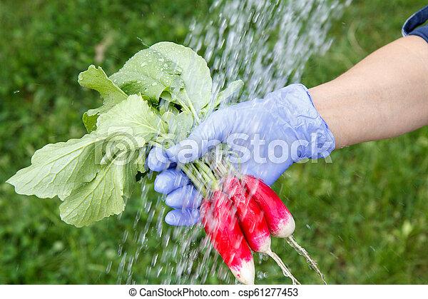 Female gardener in glove is washing freshly picked radish - csp61277453