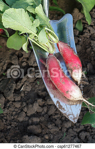 Female gardener is digging out ripe red radish in the garden - csp61277467