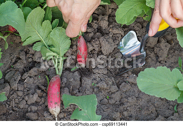 Female gardener is digging out ripe red radish in the garden. - csp69113441