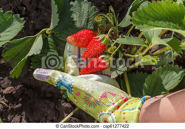 Female gardener is holding ripe strawberries in hand dressed in rubber glove - csp61277422
