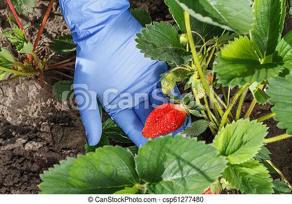 Female gardener is holding strawberries in hand dressed in blue glove - csp61277480