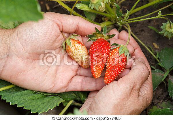 Female gardener is holding strawberries in hands. - csp61277465