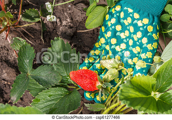 Female gardener is holding strawberries in hand dressed in glove. Ripe and unripe strawberries - csp61277466