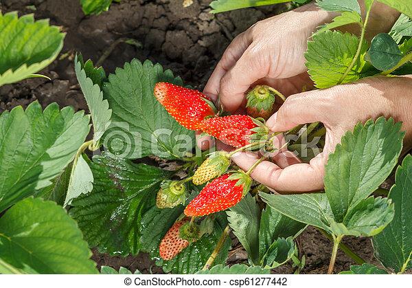Female gardener is holding strawberries in hands. - csp61277442