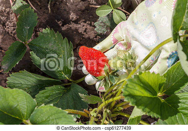 Female gardener is holding strawberries in hand dressed in rubber glove - csp61277439