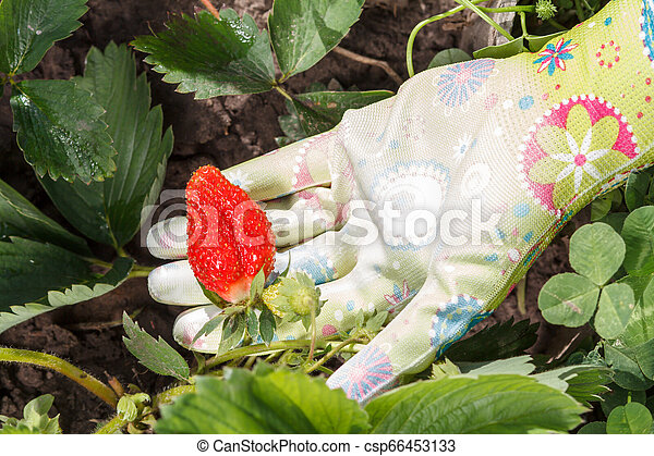 Female gardener is holding strawberry in hand dressed in rubber glove. Ripe and unripe strawberries. - csp66453133