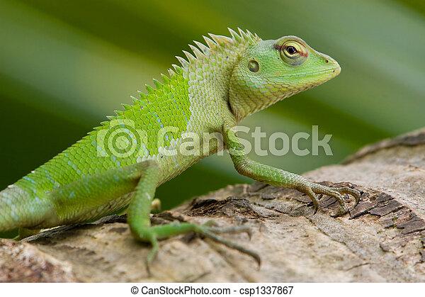 female green garden lizard calotes calotes csp1337867 - Garden Lizard