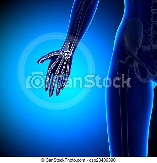 Female hand - anatomy bones.