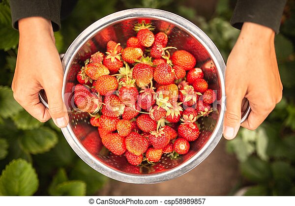 Female hands holding freshly picked strawberries - csp58989857