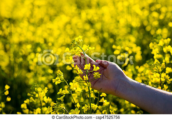 Female hands touching rape flowersuch with naturefemale hand female hands touching rape flowersuch with naturefemale hand touching yellow flowerswoman agronomist walking the field of oilseed rapeconcept of mightylinksfo
