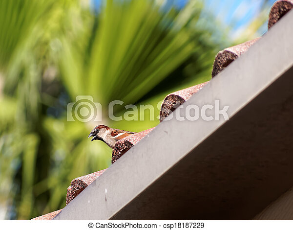 Female House Sparrow on a Rooftop - csp18187229