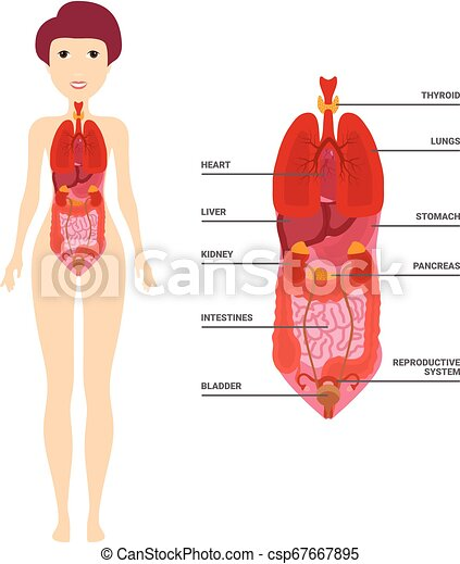 Female Human Anatomy, Internal Organs Diagram, Physiology, Structure,  Medical Profession, Morphology, Healthy