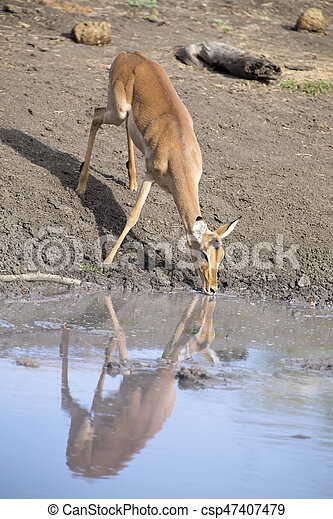 Female impala drinking water at a pond in late afternoon - csp47407479