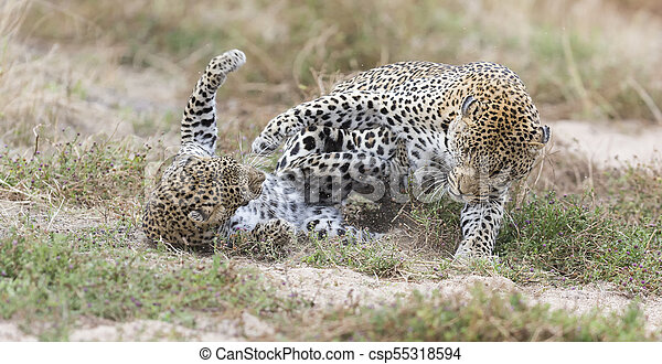 Female leopard slaps male while mating on grass in nature - csp55318594