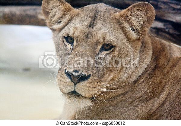 female lion - csp6050012