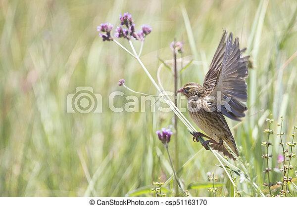 Female Long-tailed Widowbird sitting on a brush - csp51163170