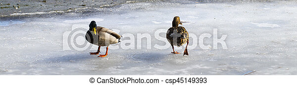 Female mallard watching two male ducks fighting over food on melting ice - csp45149393