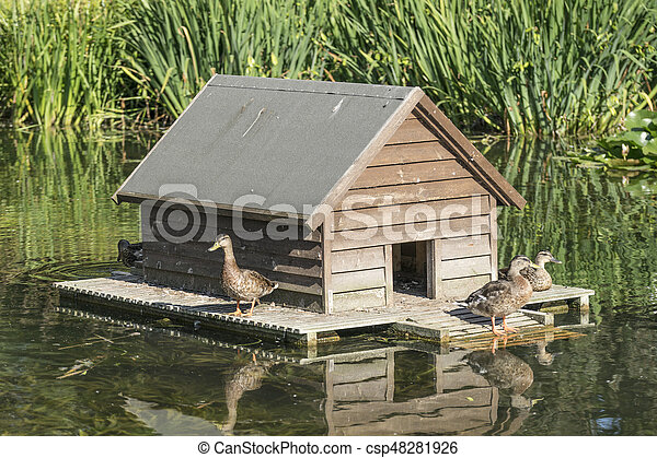 Female mallards in front of house. - csp48281926