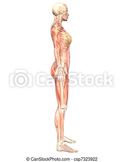 Female muscular anatomy semi transparent side view. A illustration ...