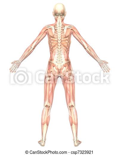 Female muscular anatomy semi transparent rear view. A illustration ...