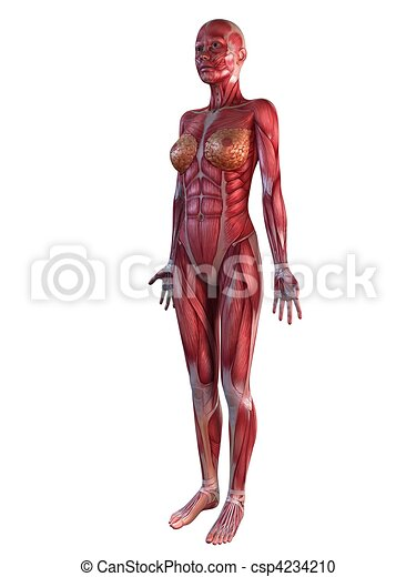 Female muscular system . 3d rendered illustration of a... stock ...