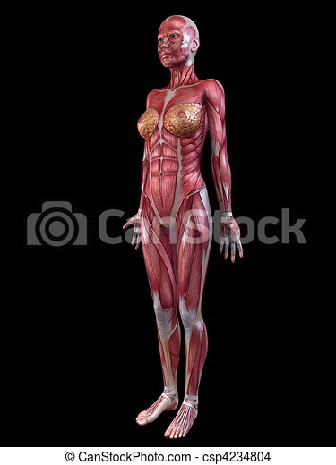 Female Muscular System 3d Rendered Illustration Of A Drawing