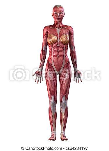 female muscular system  - csp4234197