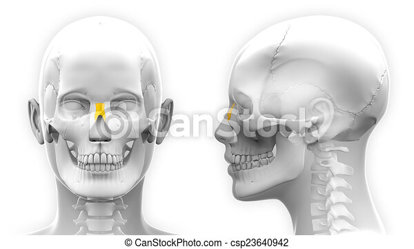 Female Nasal Bone Skull Anatomy - isolated on white - csp23640942