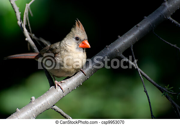 Female Northern Cardinal Perched in a Tree - csp9953070