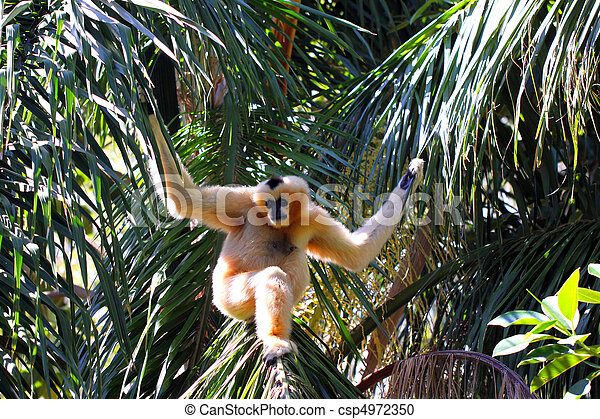 Female Northern White-Cheeked Gibbon - Nomascus leucogenys - csp4972350