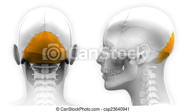 Female Occipital Bone Skull Anatomy - isolated on white - csp23640941