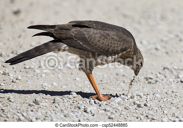 Female Pale Chanting Goshawk killing a small lizard on the ground in Kalahari - csp52448885