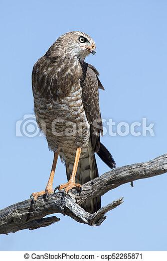 Female Pale Chanting Goshawk sitting in a tree against blue Kalahari sky - csp52265871