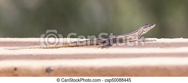 Female Platysaurus lizard on a rock in Mapungubwe, South Africa. - csp50088445