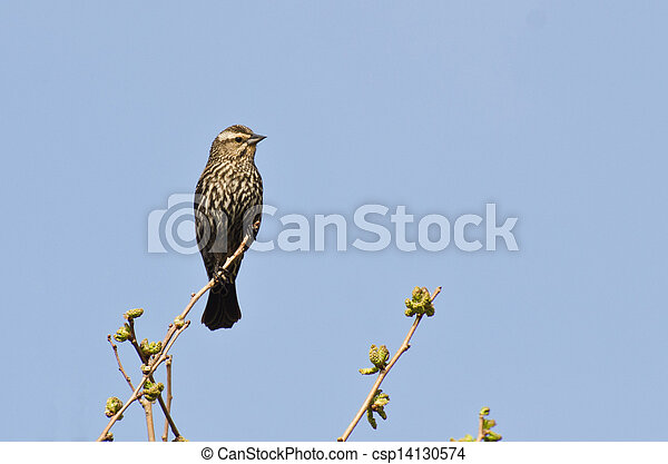 Female Red-Winged Blackbird Perched in a Tree - csp14130574