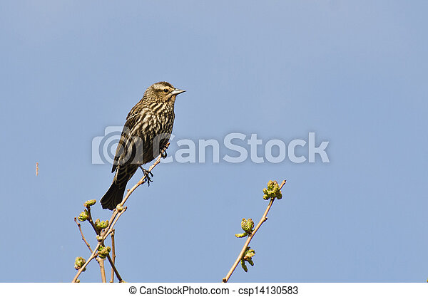 Female Red-Winged Blackbird Perched in a Tree - csp14130583