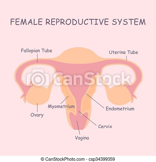 Uterus and ovaries, organs of female reproductive system.